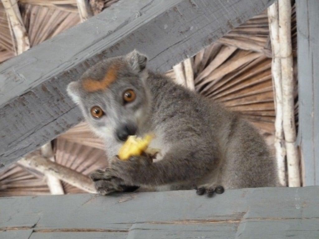 Lémurien qui mange une banane
